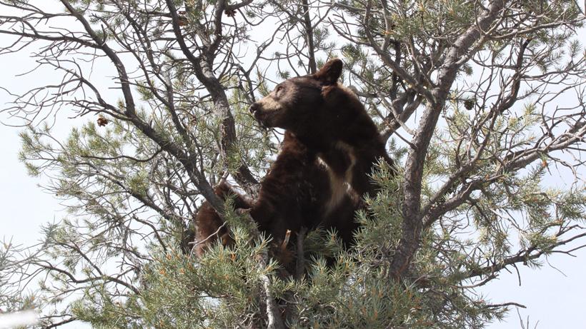 Black bear in Nevada