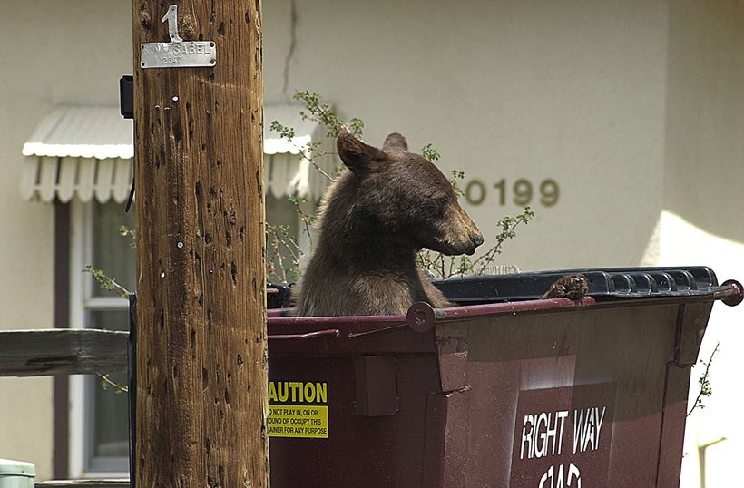 Black bear in dumpster in Colorado