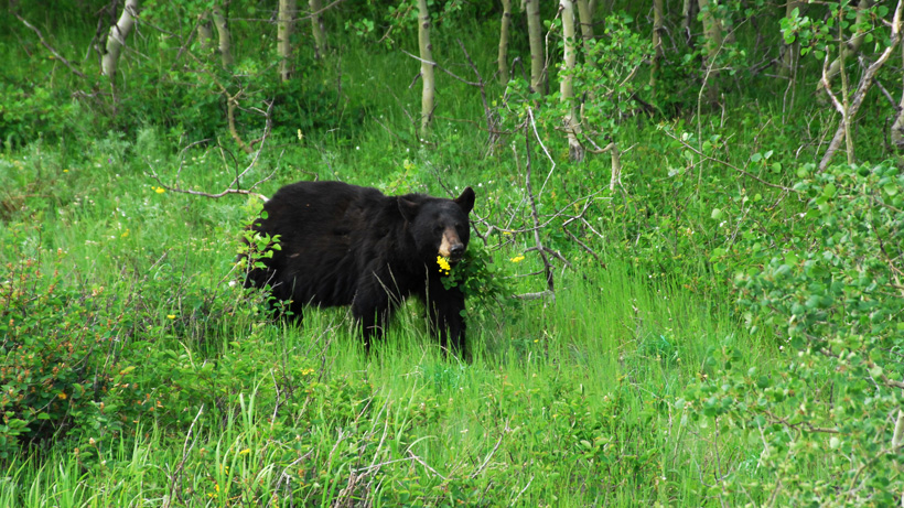 Black bear in mountains