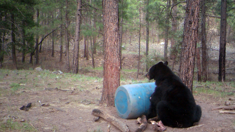 Black bear on a bait pile in Arizona Apache Reservation