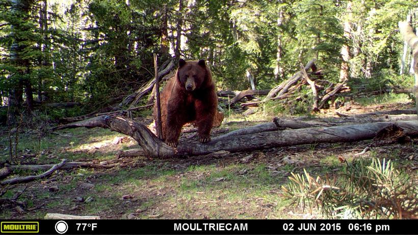 Black bear on a trail camera