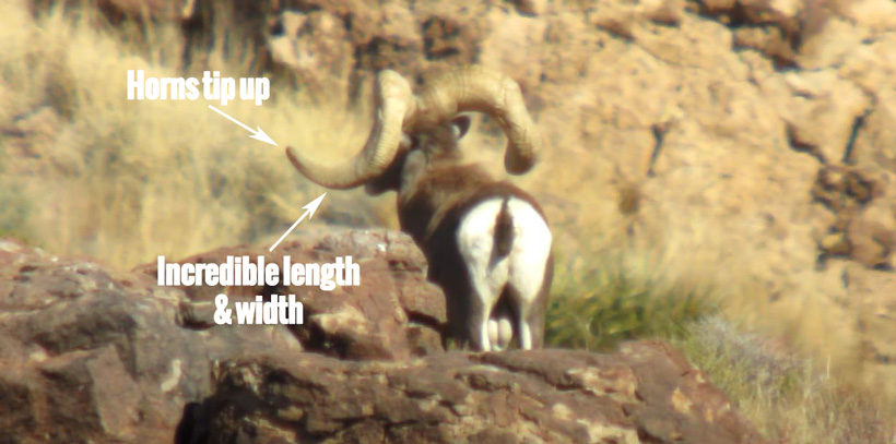 Bob Oconnors desert bighorn showing the horn length