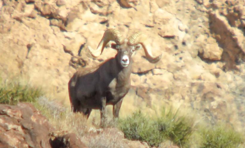 Bob Oconnor's Nelsoni Desert bighorn sheep