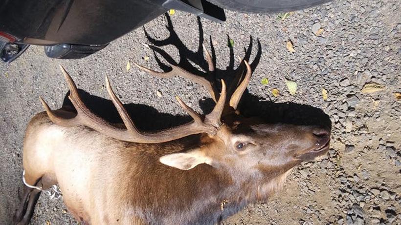 Bowhunter gored by bull elk