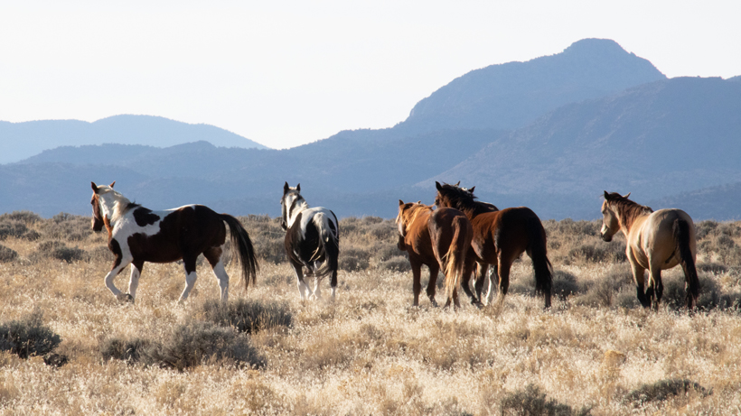 BLM plans to remove 12,000 horses from public lands