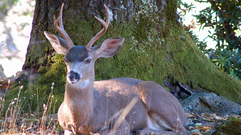 British Columbia uses immuno-contraception to control blacktail deer population