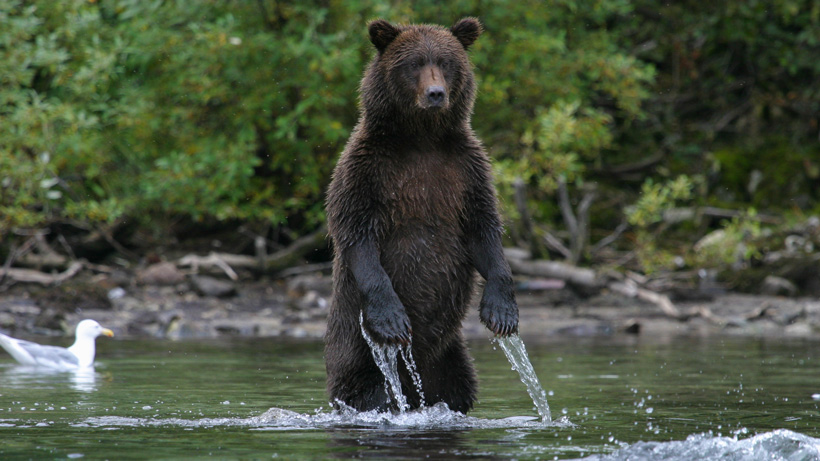 Province ends grizzly bear hunt throughout all BC