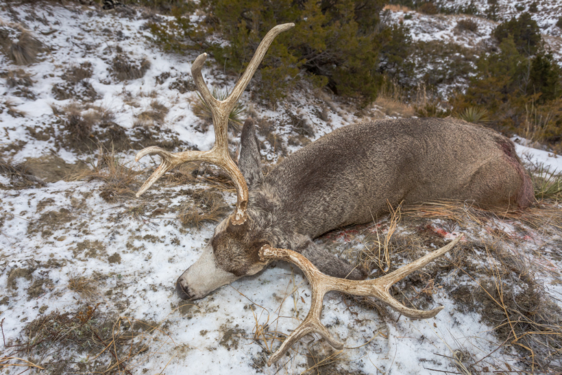 Bryce's Montana mule deer
