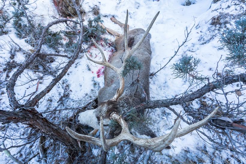 Buck wedged against tree
