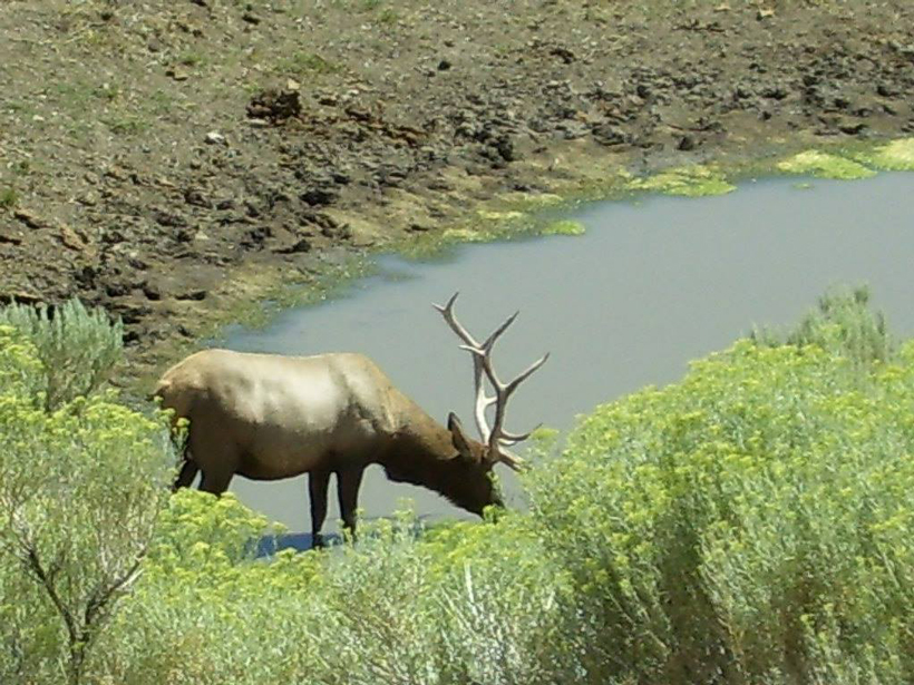 Bull elk at the pond