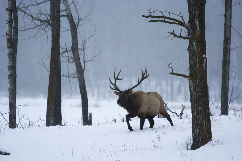 Bull elk in the late season