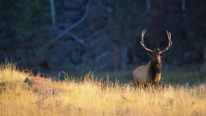 Bull elk in mountains