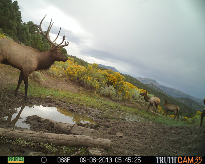 Large bull elk in wallow