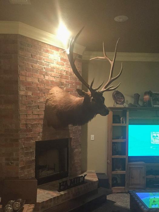 Bull elk mounted in Shey's house