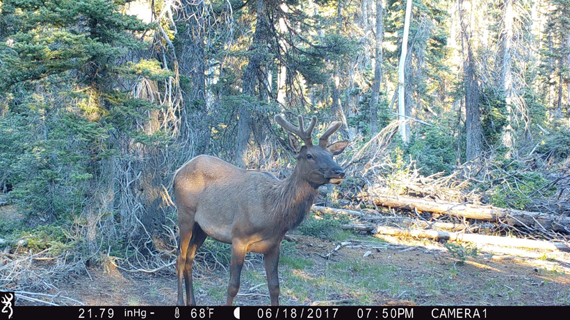Bull elk on Browning Trail Camera