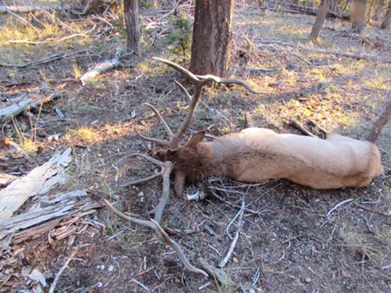 Back view of Ben's bull elk