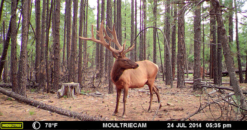 Large velvet bull elk on trail camera