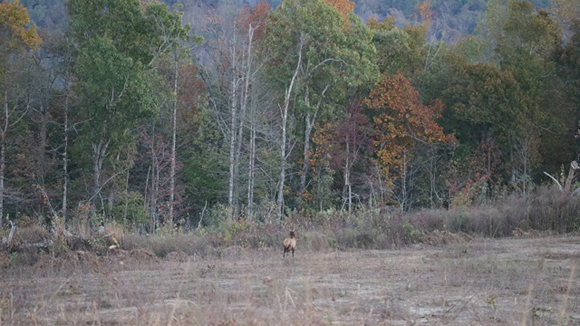 Bull elk spotted while scouting