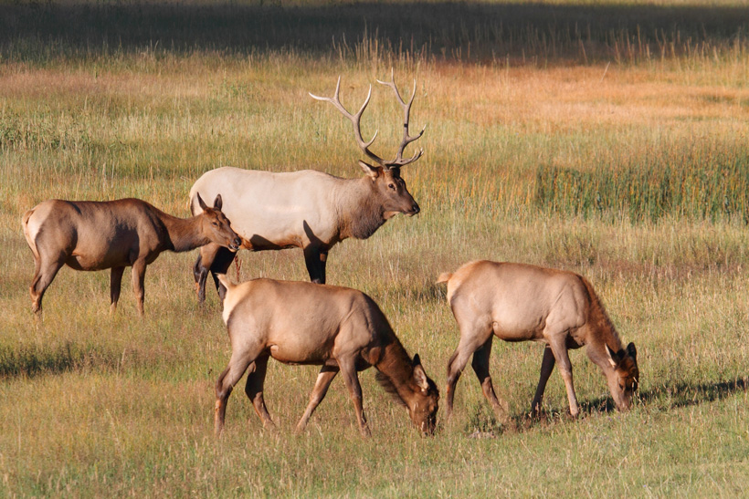 Bull elk and a harem of cows