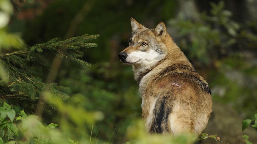 Colorado wolves