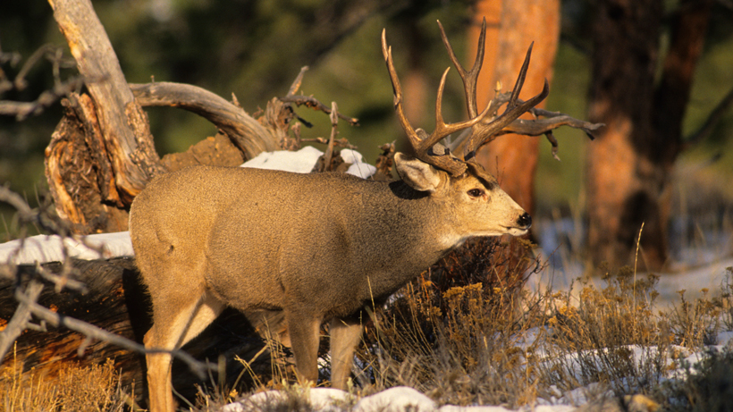 California man convicted of poaching trophy deer