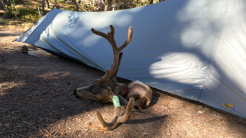 California archery blacktail deer back at camp