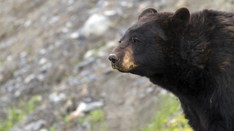 California black bear hunter mauled