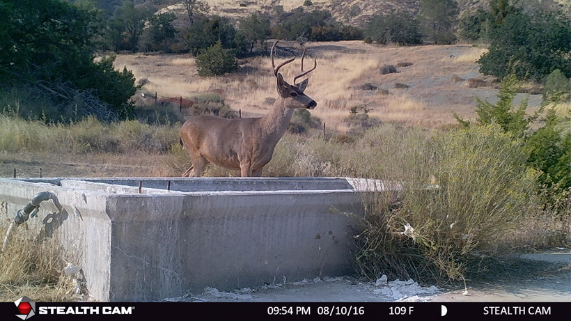 California blacktail deer on trail camera