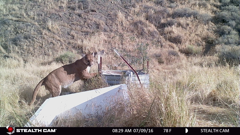 California mountain lion on trail camera