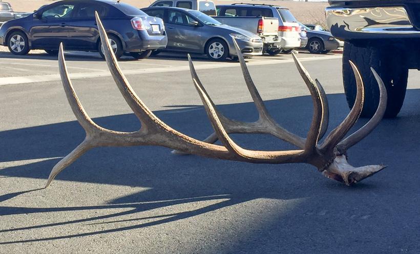 Casey Spanish's bull elk at the goHUNT office