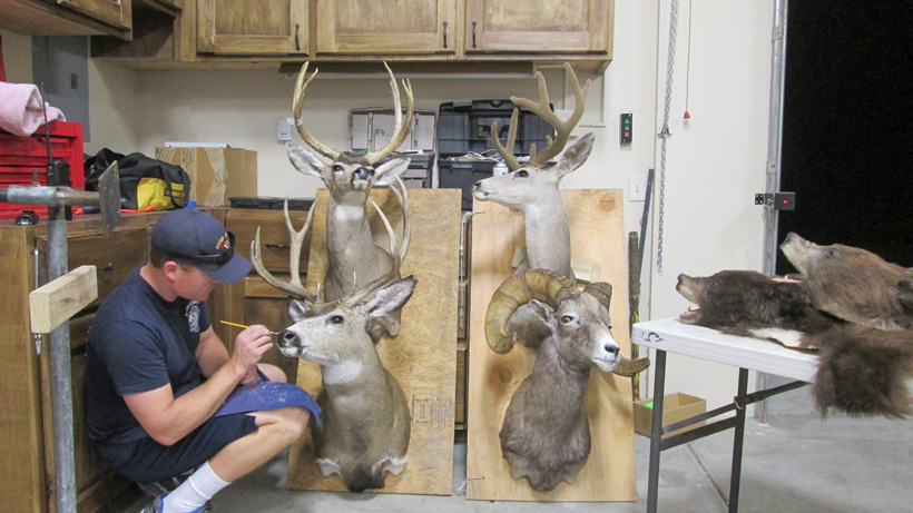 Checking over taxidermy mounts