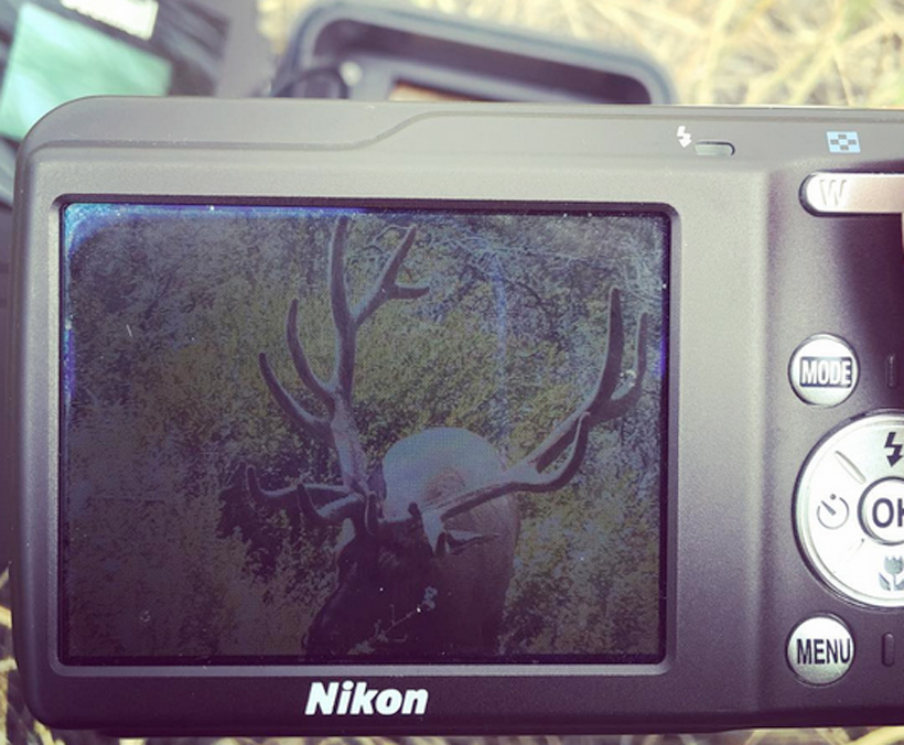 Checking trail camera photos for Velvet bull elk