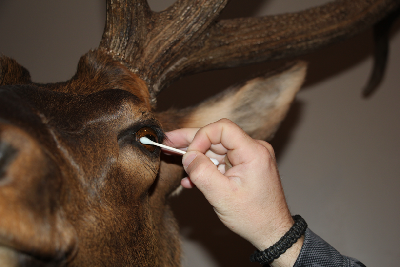 Cleaning the eyes of an elk mount
