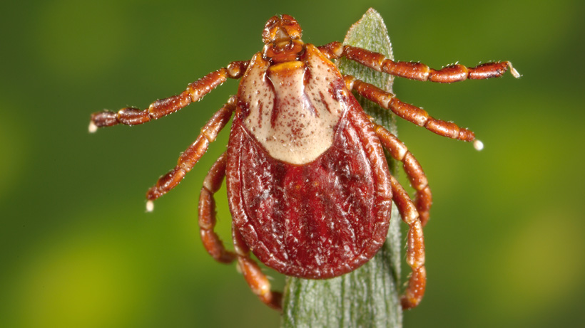 Close up photo of a Rocky Mountain wood tick