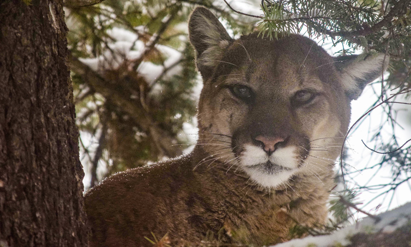 Close up photo of a treed mountain lion in Montana