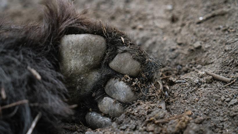 Close up photo of black bear paw