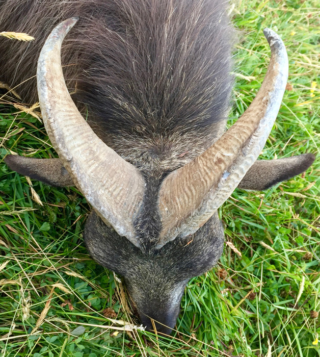 Close view of New Zealand bull tahr
