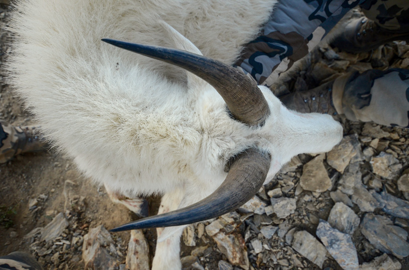 Cody Wetmore mountain goat horns closeup