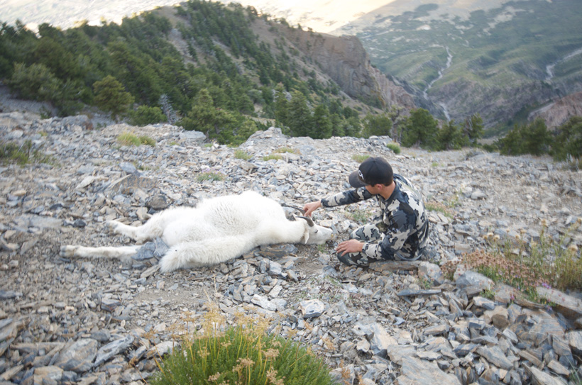 Cody Wetmore putting his hands on his mountain goat for the first time