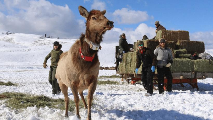 Collared elk