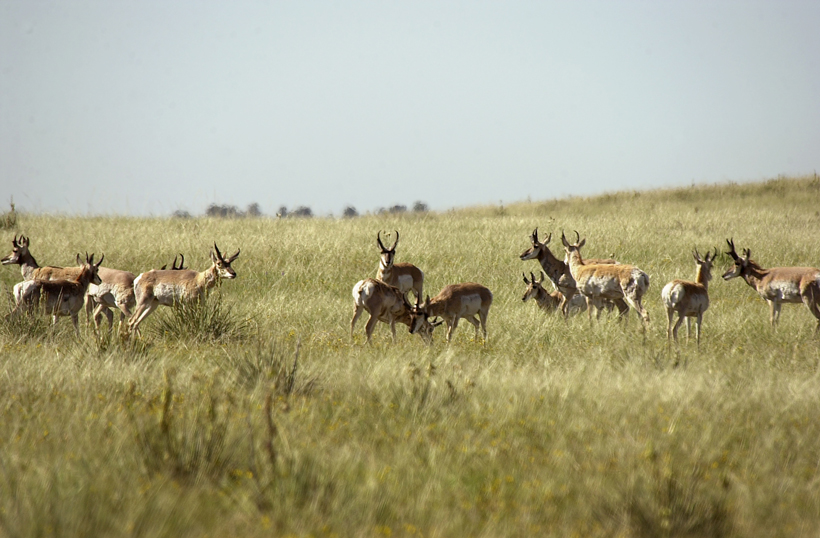 Colorado antelope herd