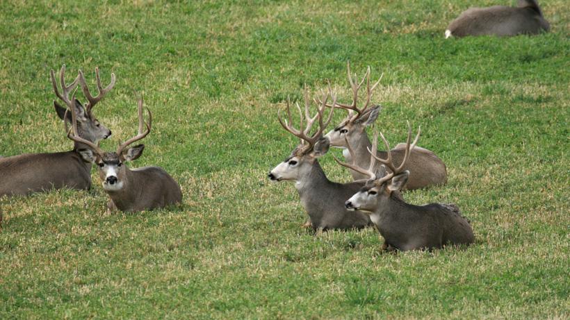 Colorado Springs Mule Deer