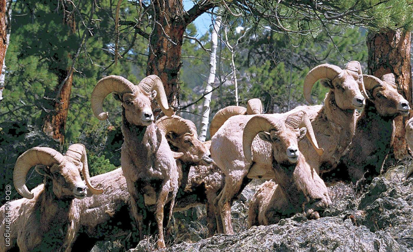 Band of bighorn sheep in Colorado
