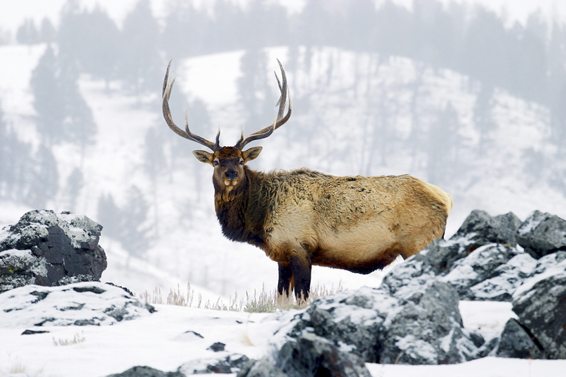 Colorado's land management approach benefits bull elk
