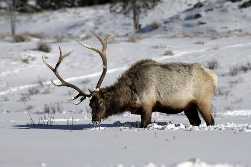 Colorado elk poaching help