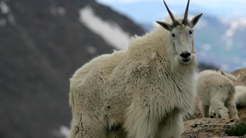 Colorado studies disease in mountain goats