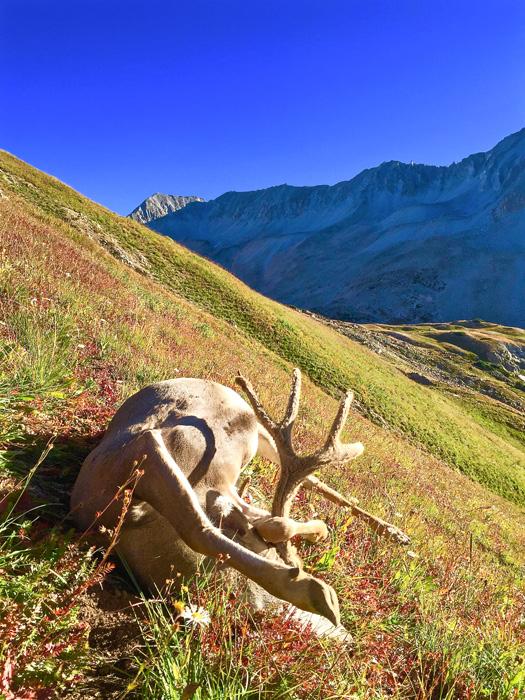 Colorado mule deer after the shot