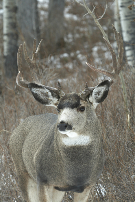 Colorado mule deer buck
