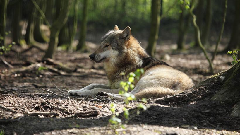 Colorado grey wolves