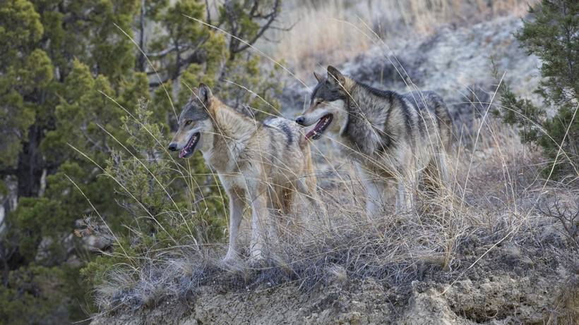 Colorado holds first wolf reintroduction session